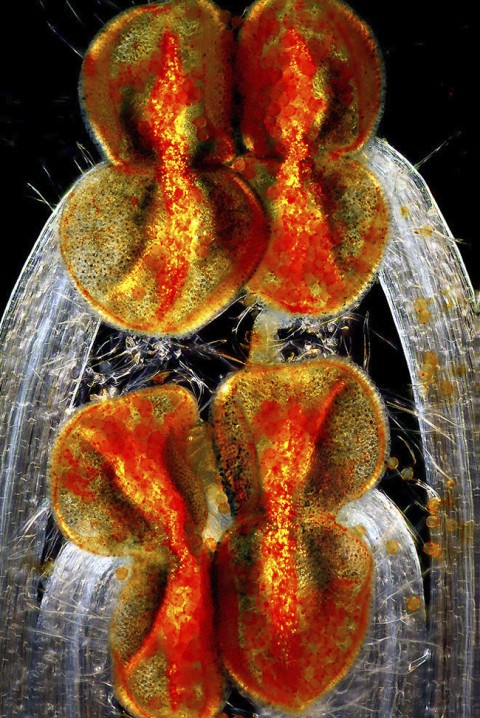 фото клеток под микроскопом