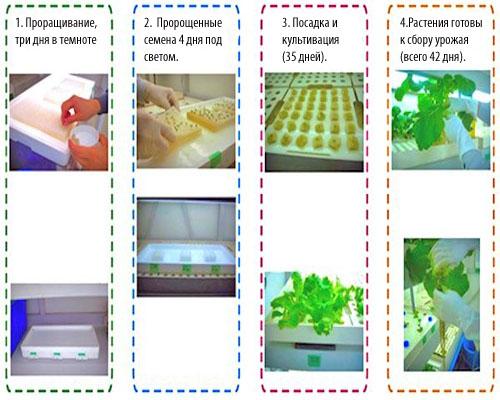 схема проращивания семян в теплице
