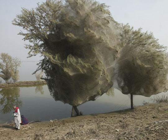 Деревья из паутины в Пакистане