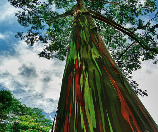 Радуга Эвкалиптового дерева в Каилуа, Гавайи