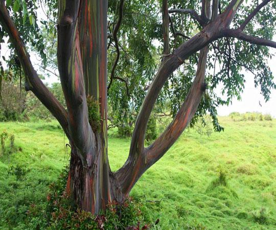 Эвкалиптовое дерево в Каилуа
